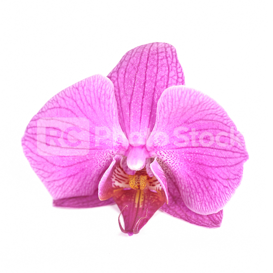Freisteller Phalaenopsis Orchideenblüte pink  : Stock Photo or Stock Video Download rcfotostock photos, images and assets rcfotostock | RC-Photo-Stock.: