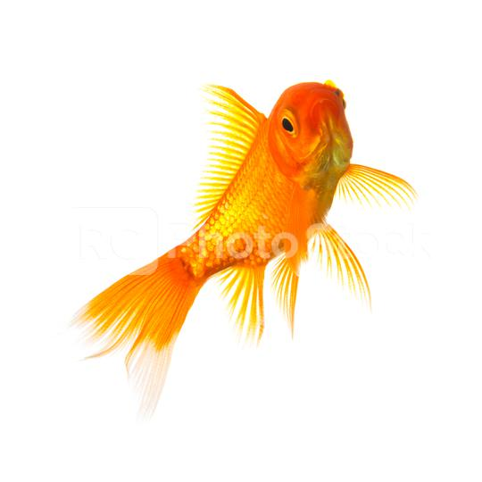 Gold fish  : Stock Photo or Stock Video Download rcfotostock photos, images and assets rcfotostock | RC-Photo-Stock.: