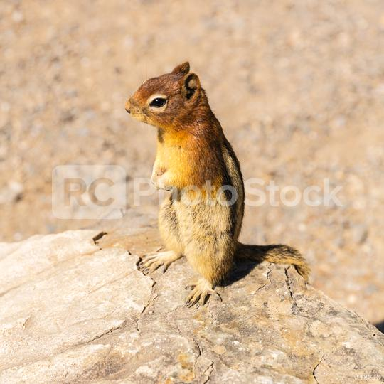 Golden-mantled Ground Squirrel stand on a rock  : Stock Photo or Stock Video Download rcfotostock photos, images and assets rcfotostock   RC-Photo-Stock.: