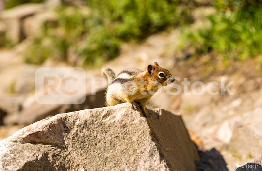 Golden-mantled Ground Squirrel stand on a rock  : Stock Photo or Stock Video Download rcfotostock photos, images and assets rcfotostock | RC-Photo-Stock.: