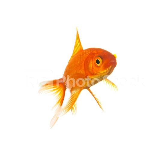 Goldfisch  : Stock Photo or Stock Video Download rcfotostock photos, images and assets rcfotostock   RC-Photo-Stock.: