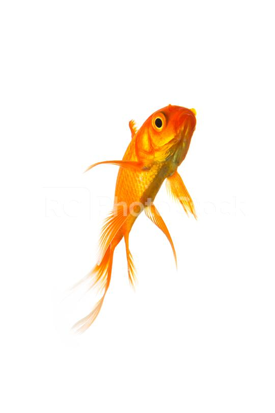 Goldfish  : Stock Photo or Stock Video Download rcfotostock photos, images and assets rcfotostock   RC-Photo-Stock.: