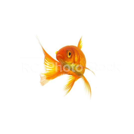 Goldfish (Carassius auratus)  : Stock Photo or Stock Video Download rcfotostock photos, images and assets rcfotostock | RC-Photo-Stock.: