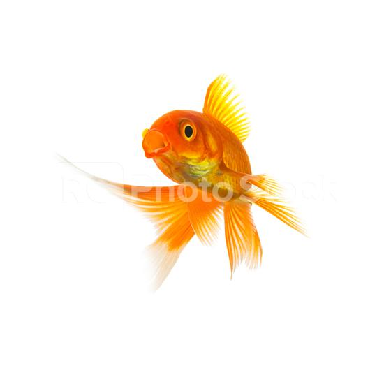 Goldfish Carassius auratus on white  : Stock Photo or Stock Video Download rcfotostock photos, images and assets rcfotostock | RC-Photo-Stock.: