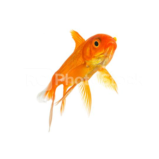 Goldfish from a ped shop  : Stock Photo or Stock Video Download rcfotostock photos, images and assets rcfotostock | RC-Photo-Stock.: