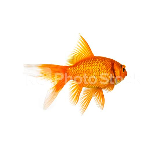 Goldfish from behind  : Stock Photo or Stock Video Download rcfotostock photos, images and assets rcfotostock | RC-Photo-Stock.: