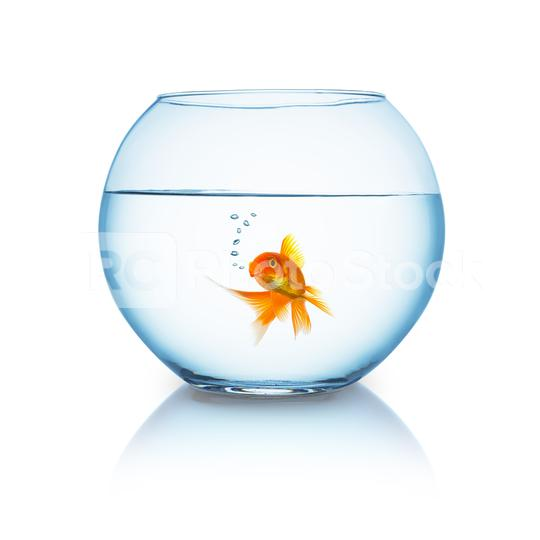 goldfish in a fishbowl on white  : Stock Photo or Stock Video Download rcfotostock photos, images and assets rcfotostock   RC-Photo-Stock.: