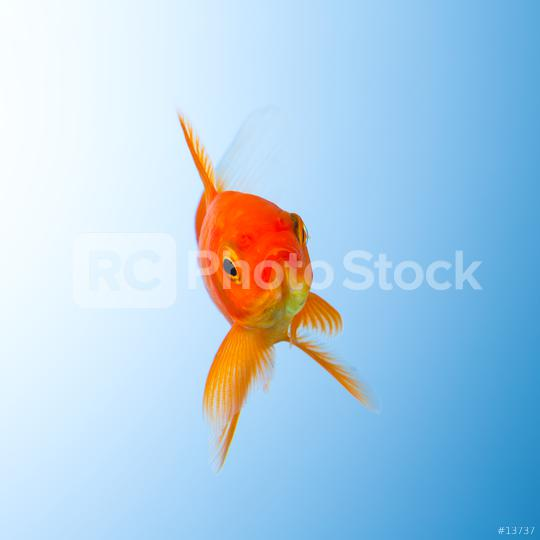 Goldfish in water  : Stock Photo or Stock Video Download rcfotostock photos, images and assets rcfotostock   RC-Photo-Stock.: