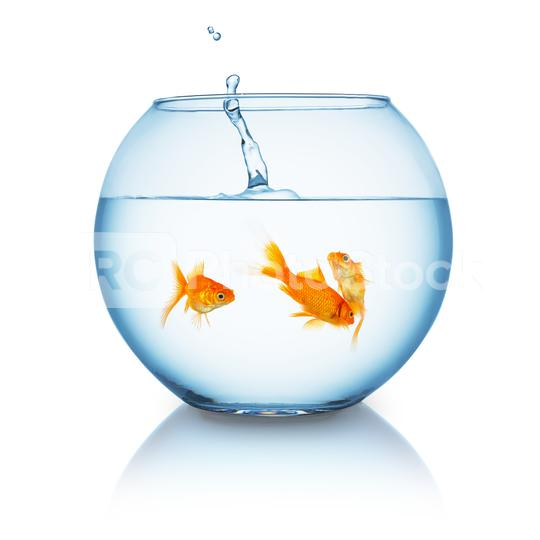 Goldfish splashes in to a fishbowl  : Stock Photo or Stock Video Download rcfotostock photos, images and assets rcfotostock   RC-Photo-Stock.:
