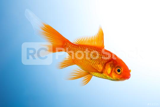 Goldfish underwater  : Stock Photo or Stock Video Download rcfotostock photos, images and assets rcfotostock | RC-Photo-Stock.: