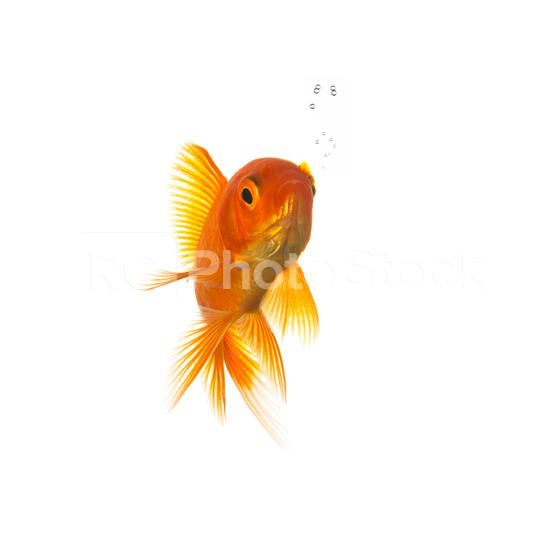 Goldfish with bubbels  : Stock Photo or Stock Video Download rcfotostock photos, images and assets rcfotostock | RC-Photo-Stock.: