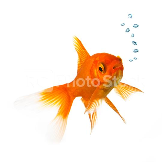 Goldfish with oxygen bubbels  : Stock Photo or Stock Video Download rcfotostock photos, images and assets rcfotostock | RC-Photo-Stock.: