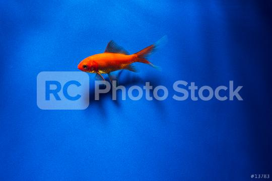 Goldfish with shadow underwater  : Stock Photo or Stock Video Download rcfotostock photos, images and assets rcfotostock | RC-Photo-Stock.:
