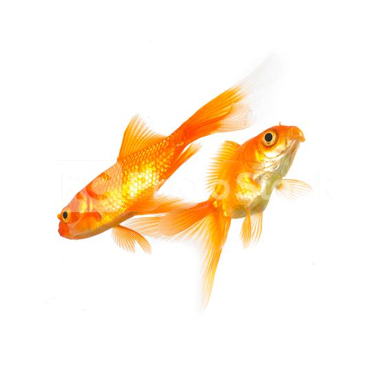 goldfishes  : Stock Photo or Stock Video Download rcfotostock photos, images and assets rcfotostock   RC-Photo-Stock.: