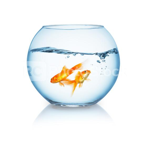 goldfishes swims in a fishbowl  : Stock Photo or Stock Video Download rcfotostock photos, images and assets rcfotostock   RC-Photo-Stock.: