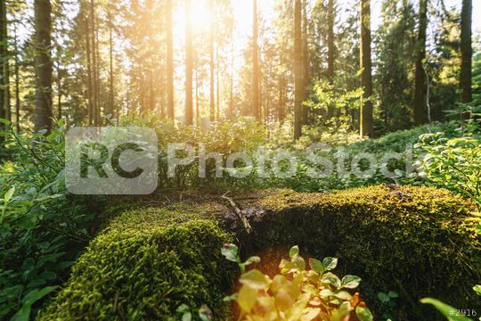 Green forest scenery with the sun casting beautiful rays through the foliage, mossy lumber in the foreground  : Stock Photo or Stock Video Download rcfotostock photos, images and assets rcfotostock | RC-Photo-Stock.: