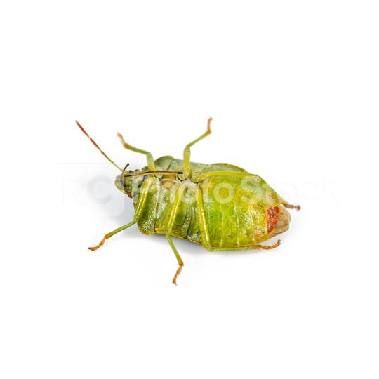 Green shield bug lies on his back on a white background  : Stock Photo or Stock Video Download rcfotostock photos, images and assets rcfotostock | RC-Photo-Stock.:
