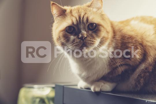 grumpy cat sits on a cupboard  : Stock Photo or Stock Video Download rcfotostock photos, images and assets rcfotostock | RC-Photo-Stock.:
