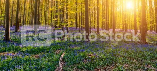Hallerbos Forest  : Stock Photo or Stock Video Download rcfotostock photos, images and assets rcfotostock   RC-Photo-Stock.: