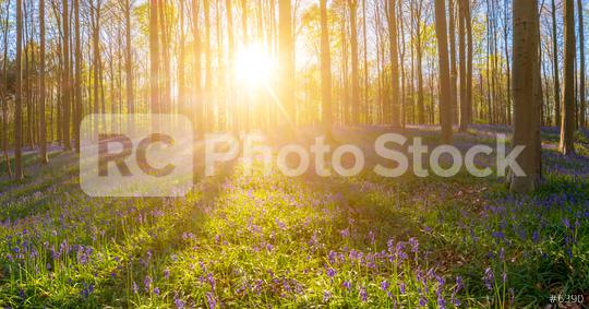 Hallerbos Forest paorama  : Stock Photo or Stock Video Download rcfotostock photos, images and assets rcfotostock | RC-Photo-Stock.: