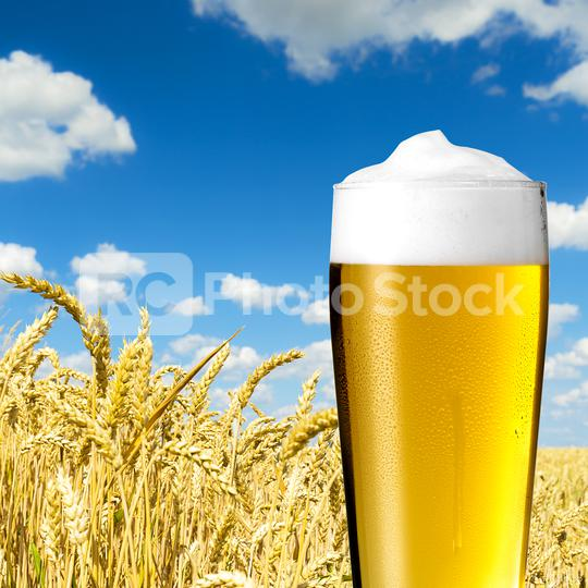 kaltes Bier (Pils) im weizenfeld  : Stock Photo or Stock Video Download rcfotostock photos, images and assets rcfotostock   RC-Photo-Stock.: