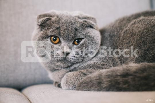 Lovable young kitten lying on a couch. The Scottish Fold Shorthair with blue gray fur.  : Stock Photo or Stock Video Download rcfotostock photos, images and assets rcfotostock | RC-Photo-Stock.:
