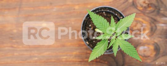 Mature Marijuana Plant with Leaves. Texture of Marijuana Plants at Indoor Cannabis Farm. Cannabis Plants Growing Indoor with young Marijuana plant  : Stock Photo or Stock Video Download rcfotostock photos, images and assets rcfotostock   RC-Photo-Stock.: