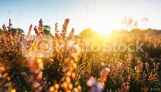 Natural background with small pink-lilac Heather flowers or Calluna vulgaris flowers at sunset. Soft focus.  : Stock Photo or Stock Video Download rcfotostock photos, images and assets rcfotostock | RC-Photo-Stock.: