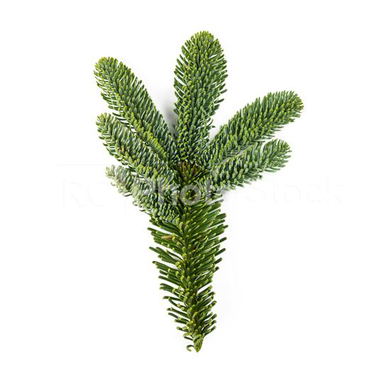 Nobilis fir branch isolated on white  : Stock Photo or Stock Video Download rcfotostock photos, images and assets rcfotostock | RC-Photo-Stock.: