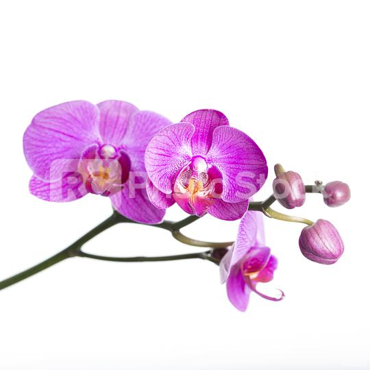 orchid flower in pink on white background  : Stock Photo or Stock Video Download rcfotostock photos, images and assets rcfotostock | RC-Photo-Stock.: