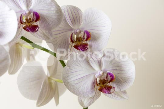 Orchid flowers in white colors on brown background  : Stock Photo or Stock Video Download rcfotostock photos, images and assets rcfotostock | RC-Photo-Stock.: