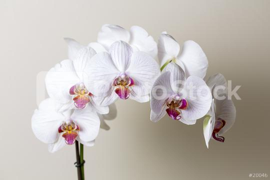 Orchid flowers in white pink colors on brown background  : Stock Photo or Stock Video Download rcfotostock photos, images and assets rcfotostock | RC-Photo-Stock.: