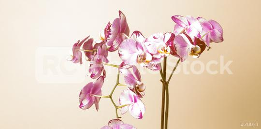 Pink Orchid flowers on brown background  : Stock Photo or Stock Video Download rcfotostock photos, images and assets rcfotostock   RC-Photo-Stock.: