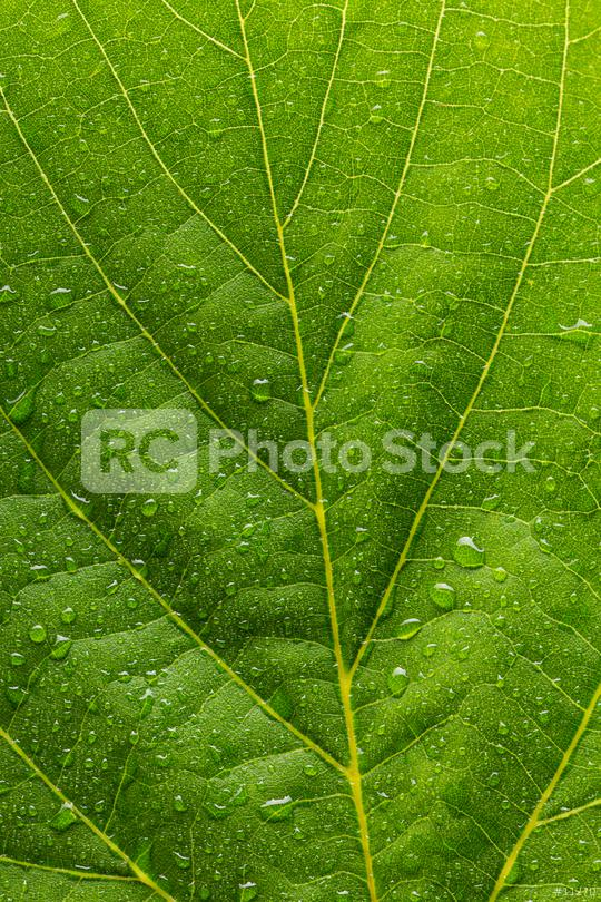 raindrops on a leaf   : Stock Photo or Stock Video Download rcfotostock photos, images and assets rcfotostock | RC-Photo-Stock.: