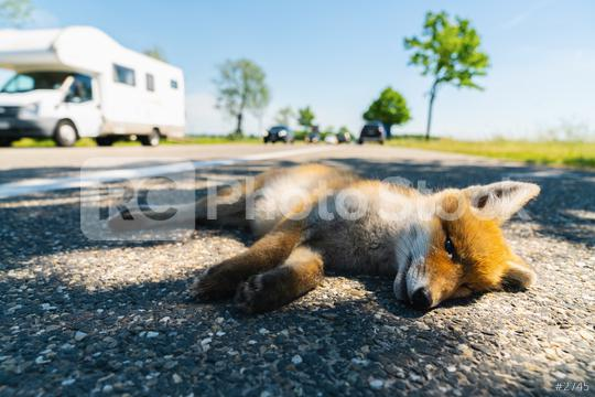 Red fox deadly in the street edge   : Stock Photo or Stock Video Download rcfotostock photos, images and assets rcfotostock   RC-Photo-Stock.: