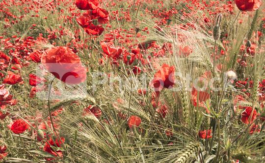 red poppy flowers in a field  : Stock Photo or Stock Video Download rcfotostock photos, images and assets rcfotostock | RC-Photo-Stock.: