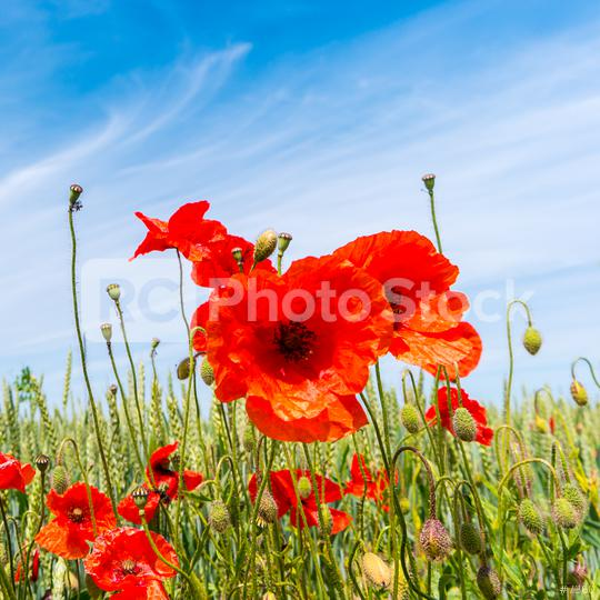 red poppy flowers in a summer field  : Stock Photo or Stock Video Download rcfotostock photos, images and assets rcfotostock | RC-Photo-Stock.: