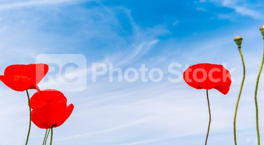 red poppy flowers in a summer field, including copy space  : Stock Photo or Stock Video Download rcfotostock photos, images and assets rcfotostock | RC-Photo-Stock.: