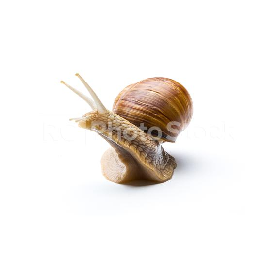 Roman snail on white  : Stock Photo or Stock Video Download rcfotostock photos, images and assets rcfotostock | RC-Photo-Stock.: