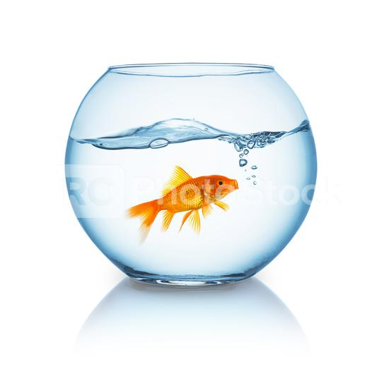screaming goldfish in a bowl  : Stock Photo or Stock Video Download rcfotostock photos, images and assets rcfotostock | RC-Photo-Stock.: