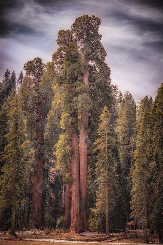 Sequoia Trees im Sonnenlicht, USA, Kalifornien  : Stock Photo or Stock Video Download rcfotostock photos, images and assets rcfotostock | RC-Photo-Stock.: