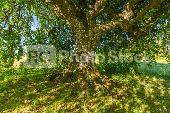 shadow under a old Dwarf Beech   : Stock Photo or Stock Video Download rcfotostock photos, images and assets rcfotostock | RC-Photo-Stock.: