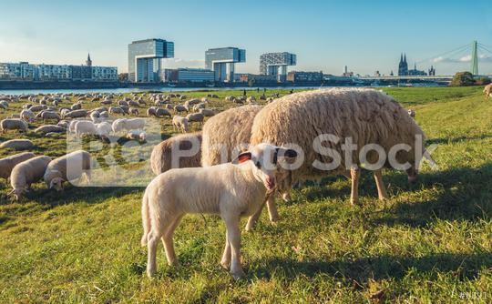 shepherd in cologne at the rhine shore, germany  : Stock Photo or Stock Video Download rcfotostock photos, images and assets rcfotostock | RC-Photo-Stock.:
