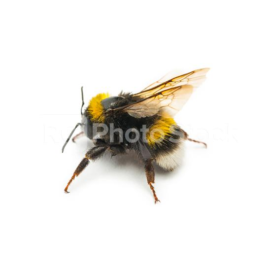 single bumblebee on white  : Stock Photo or Stock Video Download rcfotostock photos, images and assets rcfotostock   RC-Photo-Stock.: