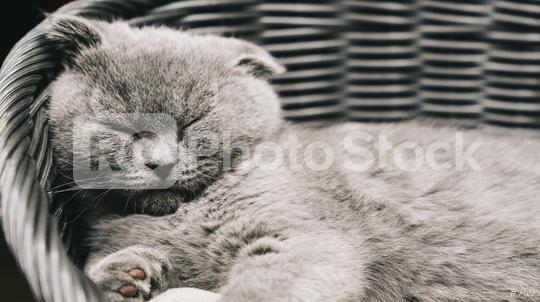 Sleepy kitten lying on a asket. Scottish Fold Shorthair with blue gray fur, with copyspace for your individual text.  : Stock Photo or Stock Video Download rcfotostock photos, images and assets rcfotostock | RC-Photo-Stock.: