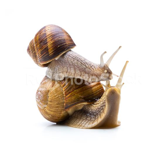 snail in love  : Stock Photo or Stock Video Download rcfotostock photos, images and assets rcfotostock   RC-Photo-Stock.: