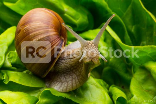 Snail in salad  : Stock Photo or Stock Video Download rcfotostock photos, images and assets rcfotostock   RC-Photo-Stock.: