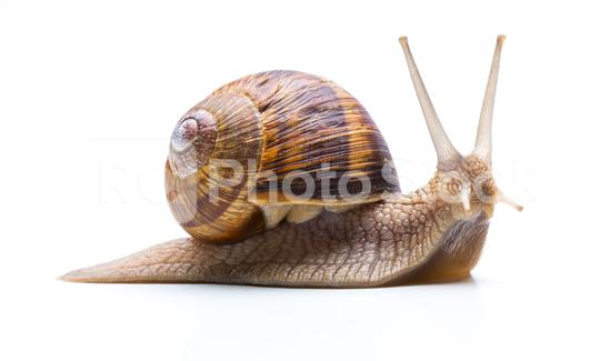 Snail with shell  : Stock Photo or Stock Video Download rcfotostock photos, images and assets rcfotostock   RC-Photo-Stock.:
