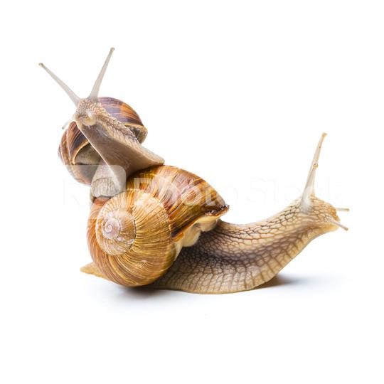 Snails Piggy-Backing  : Stock Photo or Stock Video Download rcfotostock photos, images and assets rcfotostock   RC-Photo-Stock.: