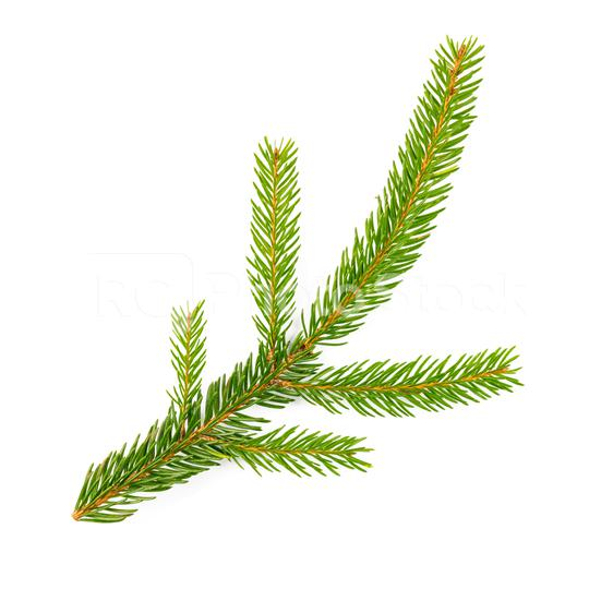 spruce fir on white background  : Stock Photo or Stock Video Download rcfotostock photos, images and assets rcfotostock | RC-Photo-Stock.: